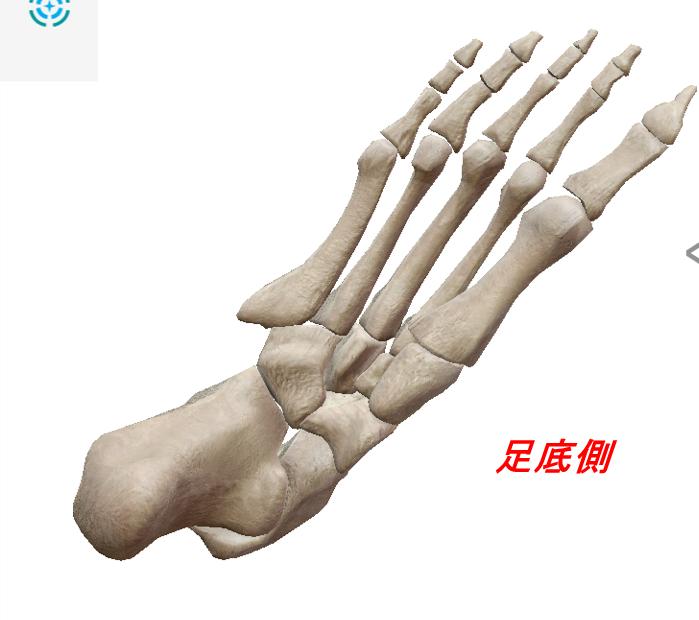 足の骨裏側